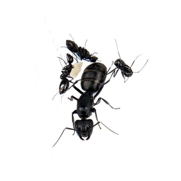 Ant's Kingdom Camponotus 1-4