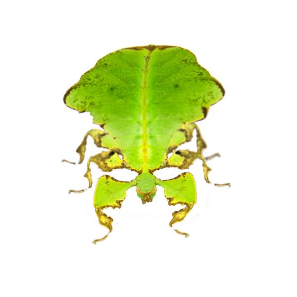 walking leaf giant, front view