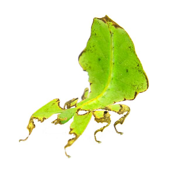 psg 72 walking leaf insect