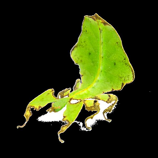 Phyllium giganteum, leaf insect psg 72