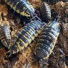 Isopods