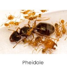 Pheidole ants