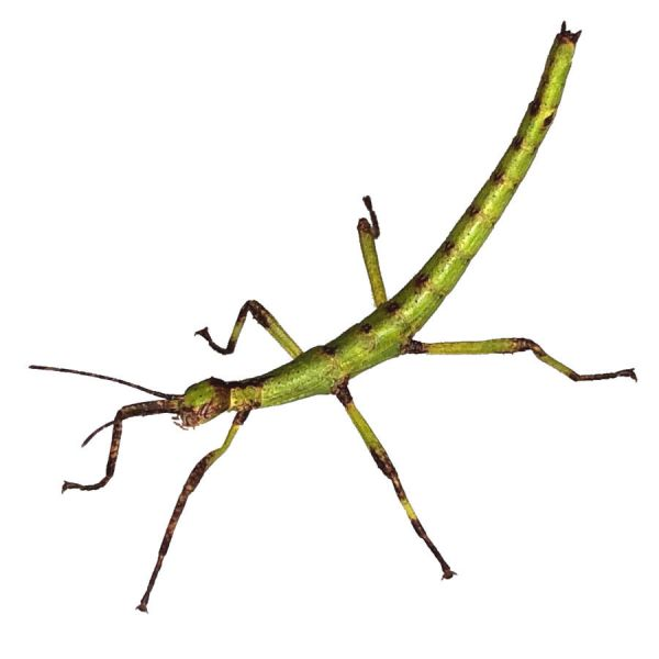Australian stick insect nymph PSG9