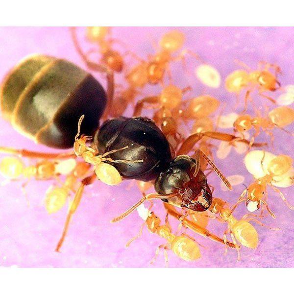 Ant's Kingdom Lasius Flavus 5-10 colony