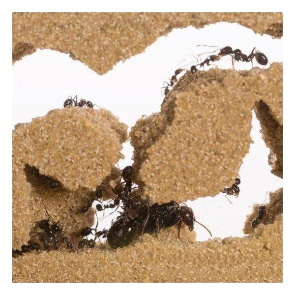 T-Farm ants inside antfarm