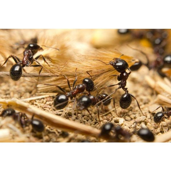 Ant's Kingdom Antfamily M