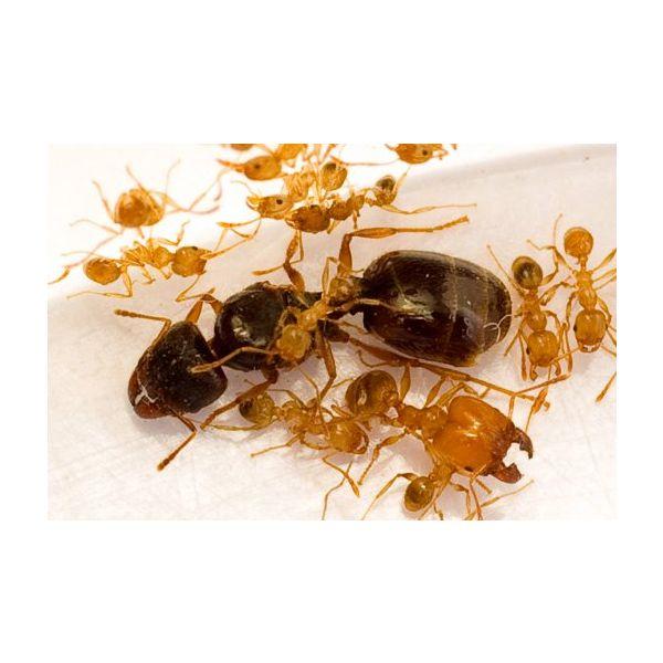 Ant's Kingdom Pheidole pallidula colony 10+