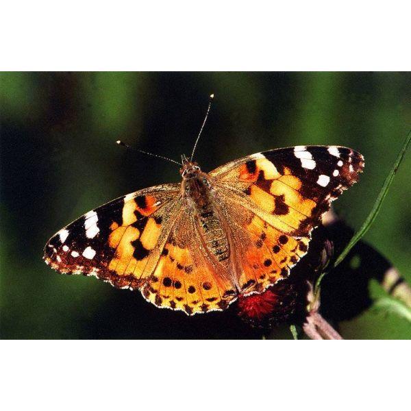 Butterfly, distelvlinder