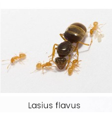 Lasius flavus ant colony